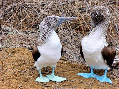 blue-footed-fotor