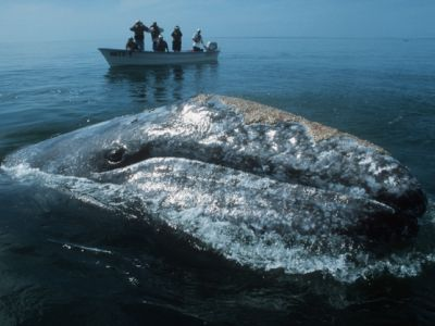 <p>Begegnung - Walbeobachtung in der Baja California</p>