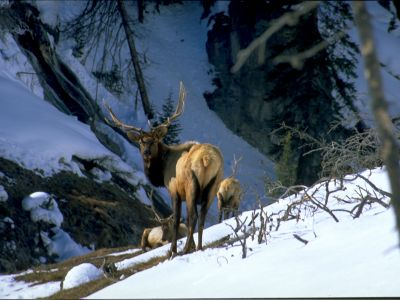 elk-in-yellowstone-2