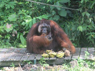 orang-utan-auf-borneo