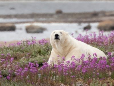 polar-bear-in-fireweed