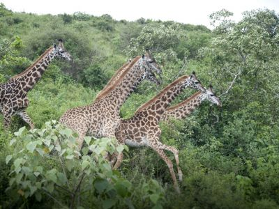 20-arusha-np-giraffen
