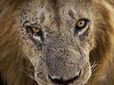 löwe-sehr-nah