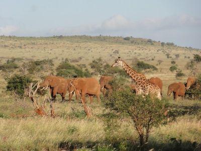 elefanten-und-giraffen-in-kenia