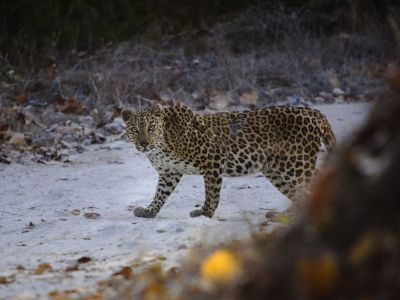 leopard-in-indien