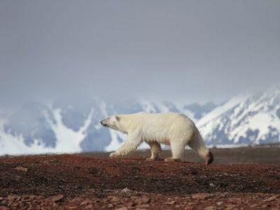 eisbär-vor-berg.jpg