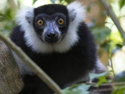 schwarz-weiß-lemure
