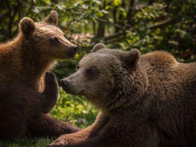 bären-in-rumänien