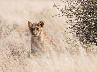 löwe-in-der-savannah