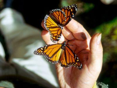 monarchfalter-landen-auf-hand