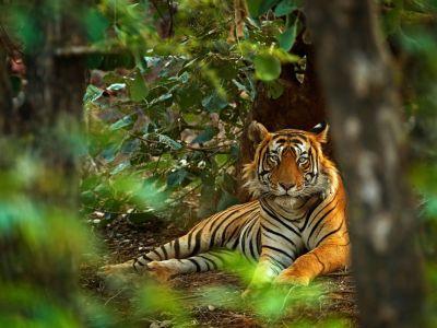 tiger-im-rhantambore-nationalpark