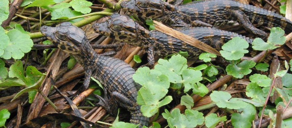 1338382184_alligator_safari.JPG