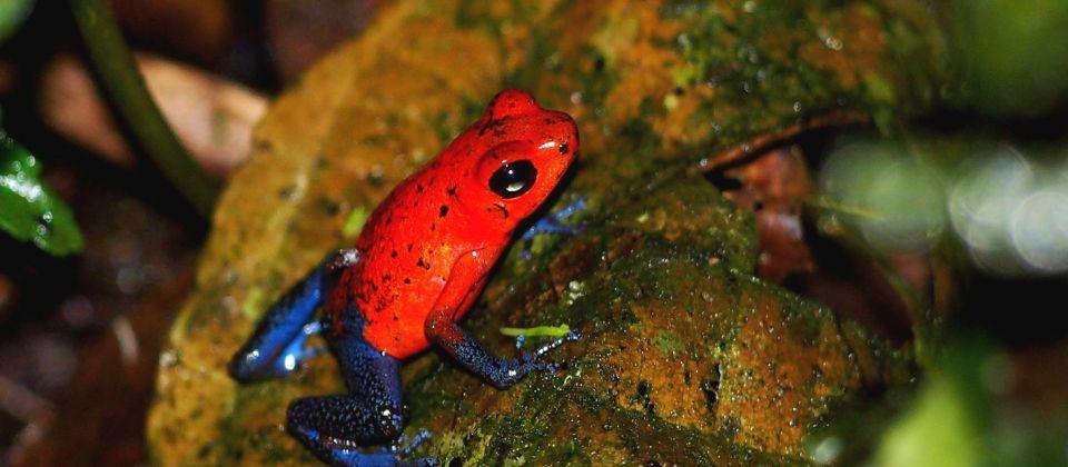 rotes und blaues Amphibiengifttier von tropischem