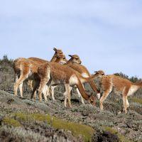 chimborazo-vikuñas