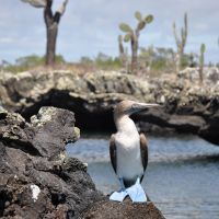 galapagos-blue-footed-booby-2.jpg