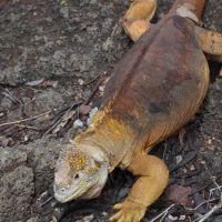 galapagos-land-iguana-2.jpg