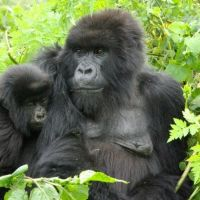 tag-2---gorillabeobachtung-im-bwindi-impenetrable-forest-nationalpark