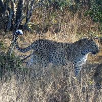 leopard-knp