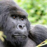 uganda---gorilla