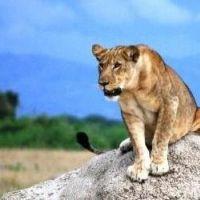 uganda---qenp---lion-1