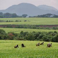uganda---kibale-forest---tee