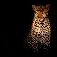 uganda---lake-mburo---leopard-night