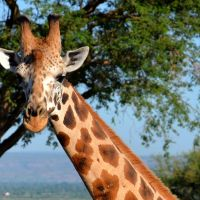 uganda---murchison---giraffe-1