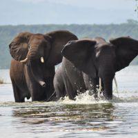 uganda---qenp---elefant-kazinga-b