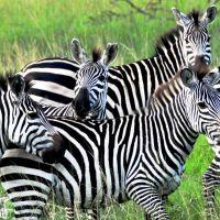 uganda---lake-mburo---zebra-b