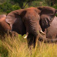 uganda---murchison---elefant---mud-b