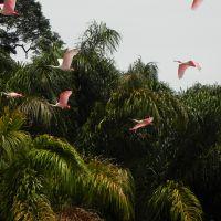 rosa-löffler-in-costa-rica
