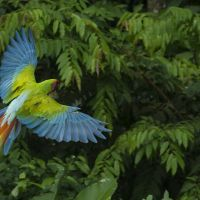 great-green-macaw