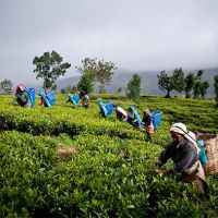 tea-palntations