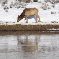 elk-at-madison-river