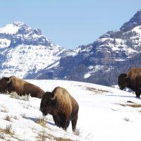 lamar-valley-bison-2