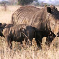 nashörner-in-südafrika