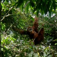 orangutan-5.jpg