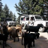 jeep-tour-mit-ziegen-auf-kreta