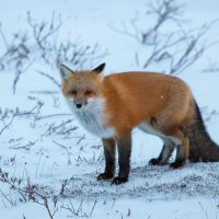 red-fox-on-tour