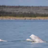 close-up-of-beluga-whales.jpg