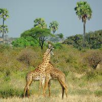 fighting-giraffe.jpg