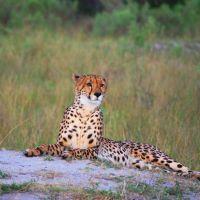 kafue-cheetah.jpg