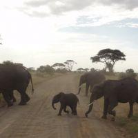 mehrere-elefanten-auf-der-straße