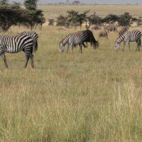 zebras-und-gnus-grassen