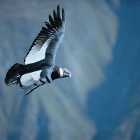 condor-flight-colca--canyon.jpg