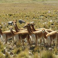 vicuñas-arequipa-(2)