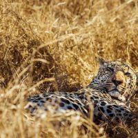 leopard-im-grass