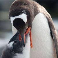 pinguin-fütter-baby.jpg