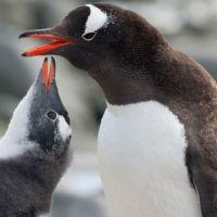 mutter-pinguin-mit-kind.jpg