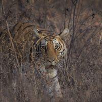 tiger-im-gestrüpp